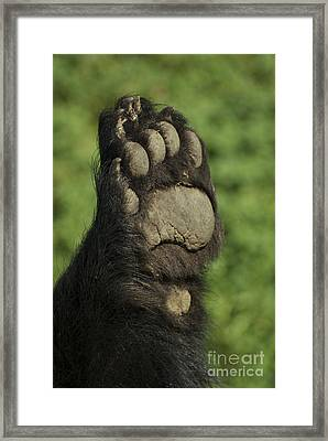 Bear Paw Framed Print by Jenny May