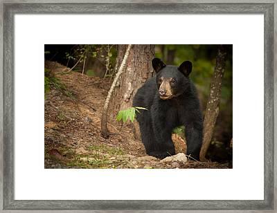 Bear Thoughts Framed Print by Joye Ardyn Durham