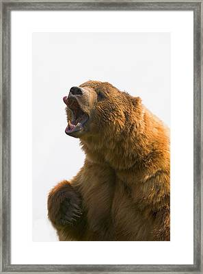 Bear With Tongue Out Of Mouth Framed Print by Carson Ganci