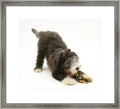 Bearded Collie Pup Playing Framed Print