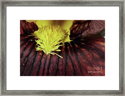 Bearded Iris Framed Print by Stephanie Frey