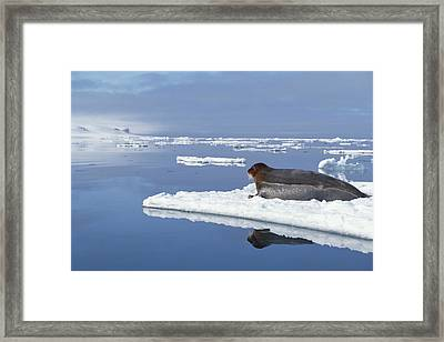 Bearded Seal Resting On Ice Floe Norway Framed Print by Flip Nicklin