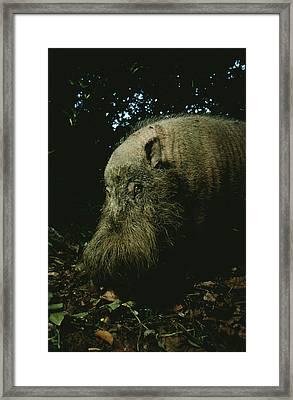 Bearded Swine Sus Barbatus Framed Print