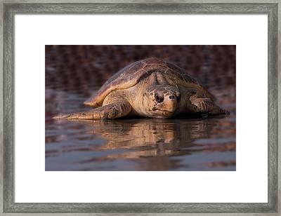 Beaufort The Turtle Framed Print by Susan Cliett