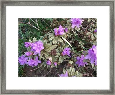 Beautiful Azaleas Framed Print by Skyler Tipton