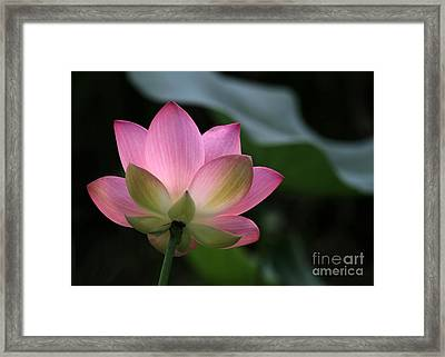 Beautiful Backlit Lotus Framed Print by Sabrina L Ryan
