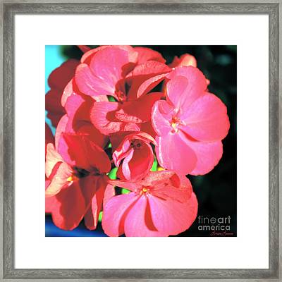Beautiful Begonia Framed Print by Lorraine Louwerse