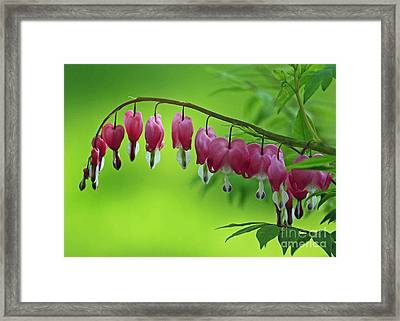 Beautiful Bleeding Hearts At Sunrise Framed Print by Inspired Nature Photography Fine Art Photography