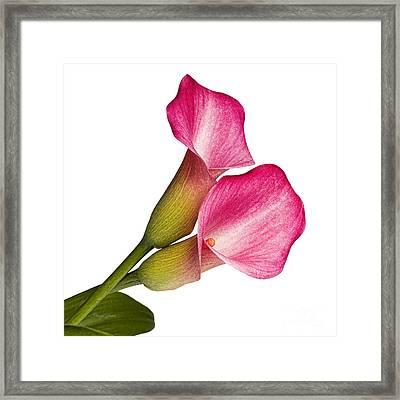 Beautiful Callas Framed Print