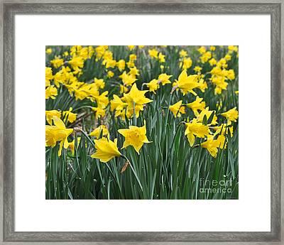 Beautiful Daffodil Field Floral Print Framed Print