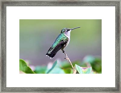 Beautiful Hummer Framed Print by Laura Oakman