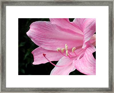 Beautiful Lily In Pink Framed Print by Kaye Menner