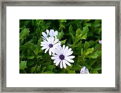 Beautiful Osteospermum Asti White Daisy Framed Print