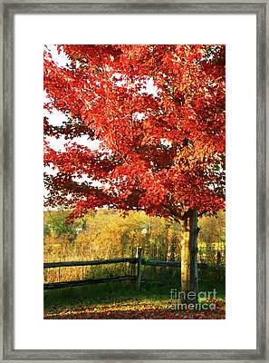 Beautiful Red Maple Tree  Framed Print by Sandra Cunningham