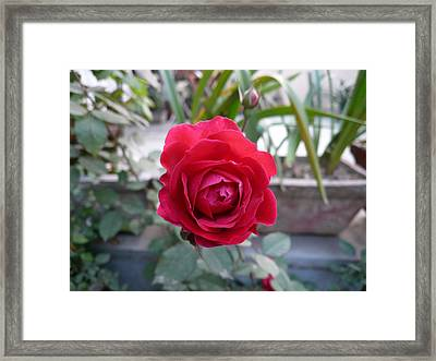 Beautiful Red Rose In A Small Garden Framed Print by Ashish Agarwal