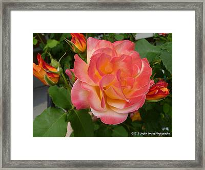 Framed Print featuring the photograph Beautiful Rose With Buds by Lingfai Leung