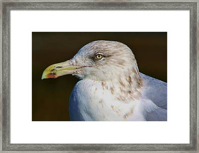 Beautiful Sea Gull Framed Print by Paulette Thomas