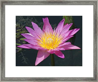 Beautiful Water Lily Framed Print by Becky Lodes