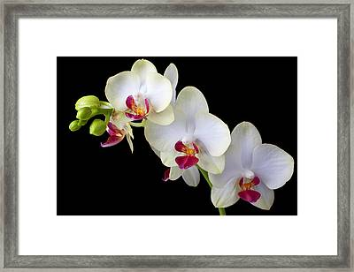 Beautiful White Orchids Framed Print by Garry Gay