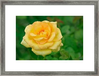 Beautiful Yellow Rose Framed Print by Atiketta Sangasaeng