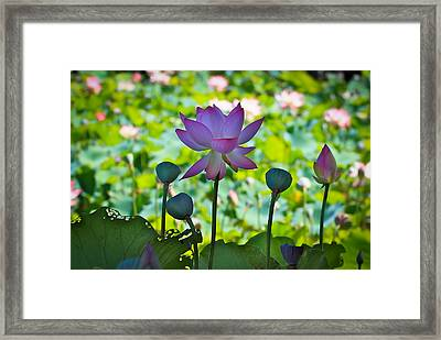 Beauty In All Stage Of Life Framed Print by Cyndy Knudson
