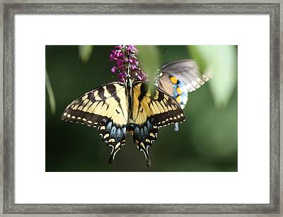 Beauty Of Butterflies  Framed Print by Victoria  Kurlinski