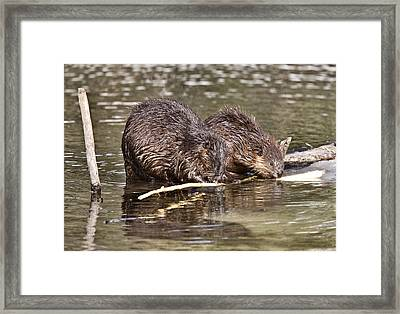 Beaver At Work Framed Print