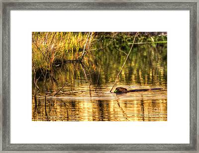 Beaver Eating Late Evening Framed Print by Dan Friend