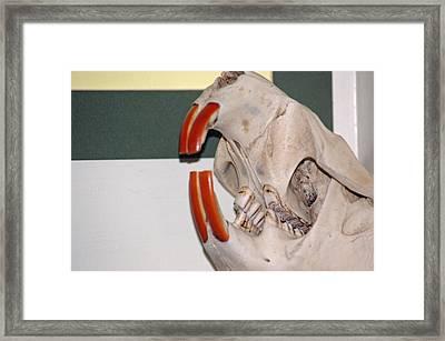 Beaver Teeth Framed Print by LeeAnn McLaneGoetz McLaneGoetzStudioLLCcom