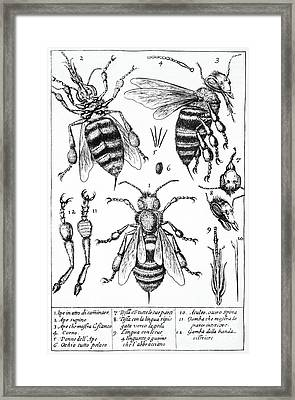 Bee Anatomy Historical Illustration Framed Print by SPL and Photo Researchers