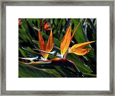 Bee And Bird Of Paradise Framed Print by Kevin Smith