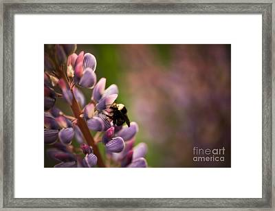 Bee And Lupine Framed Print by Venetta Archer