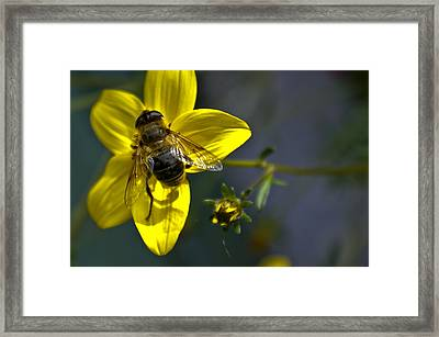 Bee At Rest Framed Print