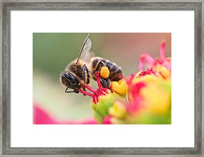 Bee At Work Framed Print by Ralf Kaiser