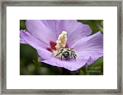 Bee Covered In Pollen  Framed Print by Jeannette Hunt