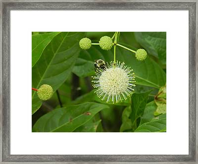 Bee Framed Print by Debra Webb