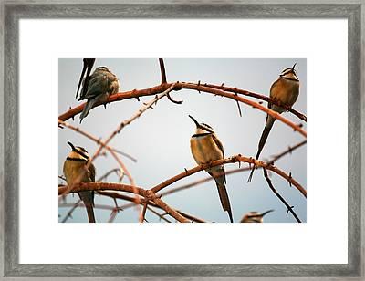 Bee Eaters Framed Print by Karol Livote