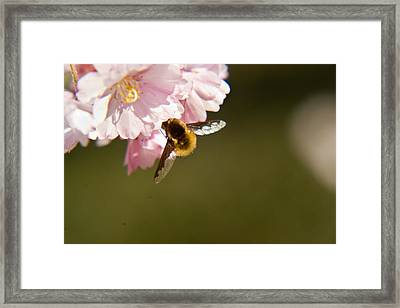 Bee Fly Feeding 4 Framed Print by Douglas Barnett