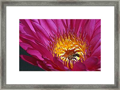 Bee Hiding In Pink Waterlily Framed Print by Becky Lodes