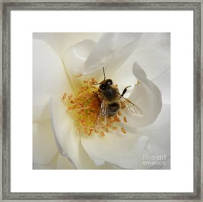 Framed Print featuring the photograph Bee In A White Rose by Lainie Wrightson