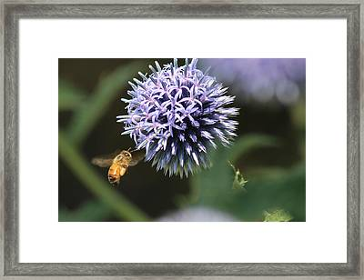 Bee In Flight Framed Print by Janet Mcconnell
