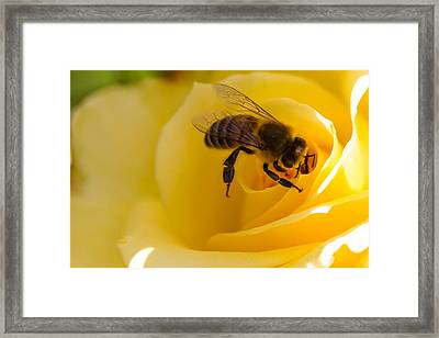 Bee Looking Down The Center Of A Yellow Rose Framed Print by Dina Calvarese