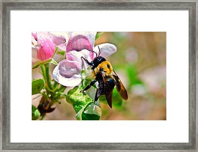 Framed Print featuring the photograph Bee On An Apple Blossom by Susan Leggett