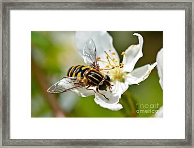 Bee On Apple Blossom Framed Print