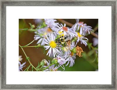 Framed Print featuring the photograph Bee On Aster by Mary McAvoy