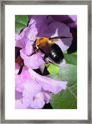 Bee On Azalea Bloom Framed Print by Lisa Phillips