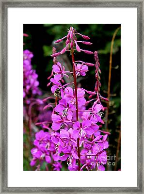 Framed Print featuring the photograph Bee On Fireweed In Alaska by Kathy  White