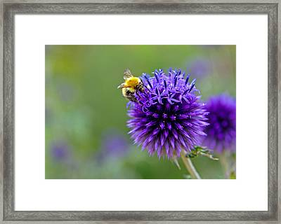 Bee On Garden Flower Framed Print