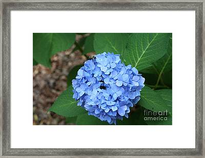 Framed Print featuring the photograph Bee On Hydrangea by Michael Waters