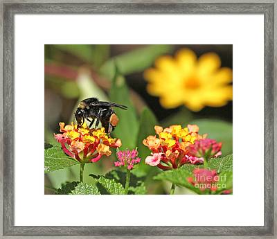 Framed Print featuring the photograph Bee On Lantana Flower by Luana K Perez